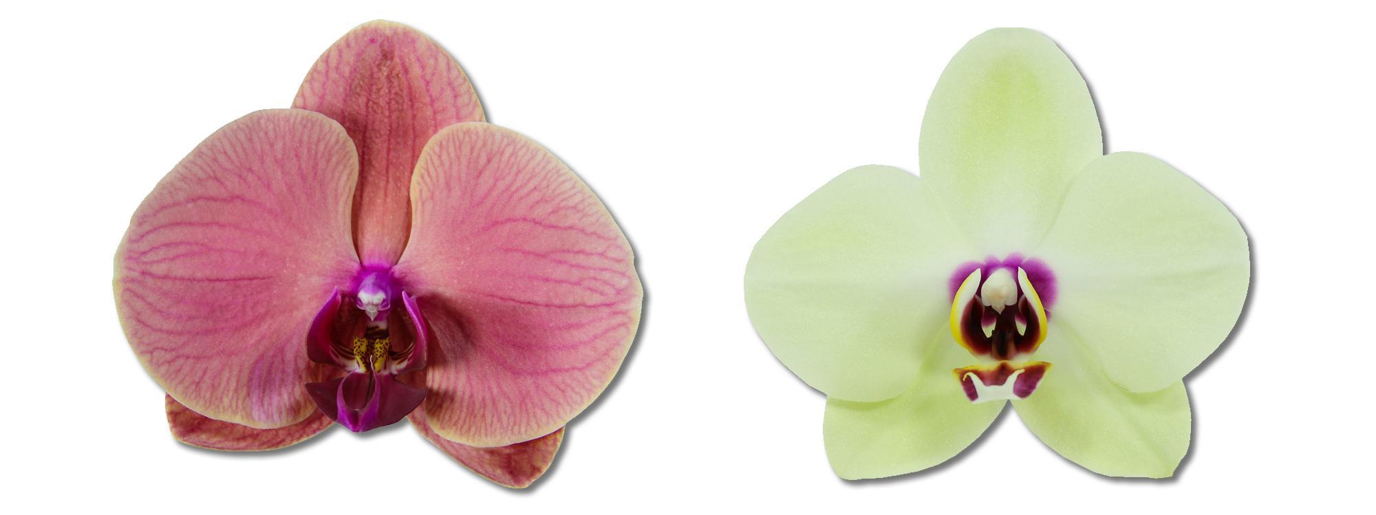 Asian Coral - Spring Juwel